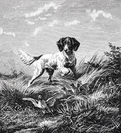 A dog chases partridges