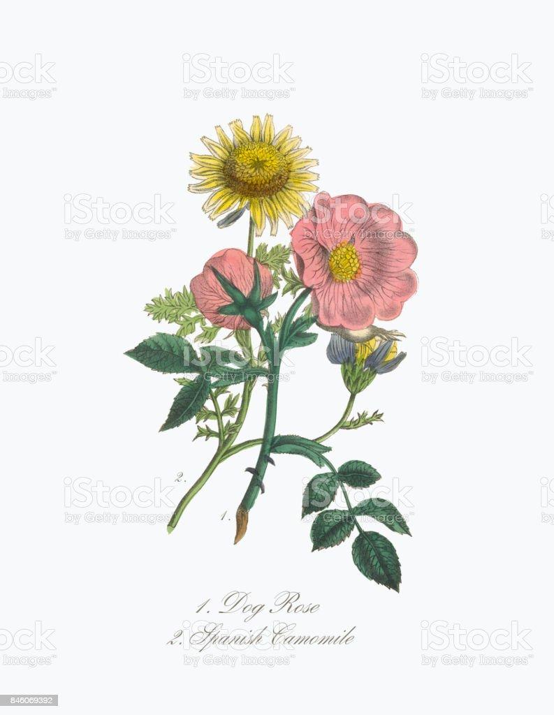 Dog Rose And Spanish Camomile Victorian Botanical