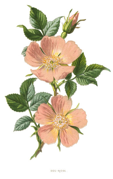"dog rose Antique illustration of a Medicinal and Herbal Plants.  illustration was published in 1893 ""botanika i mineralogia atlas"" scan by Ivan Burmistrov dog rose stock illustrations"