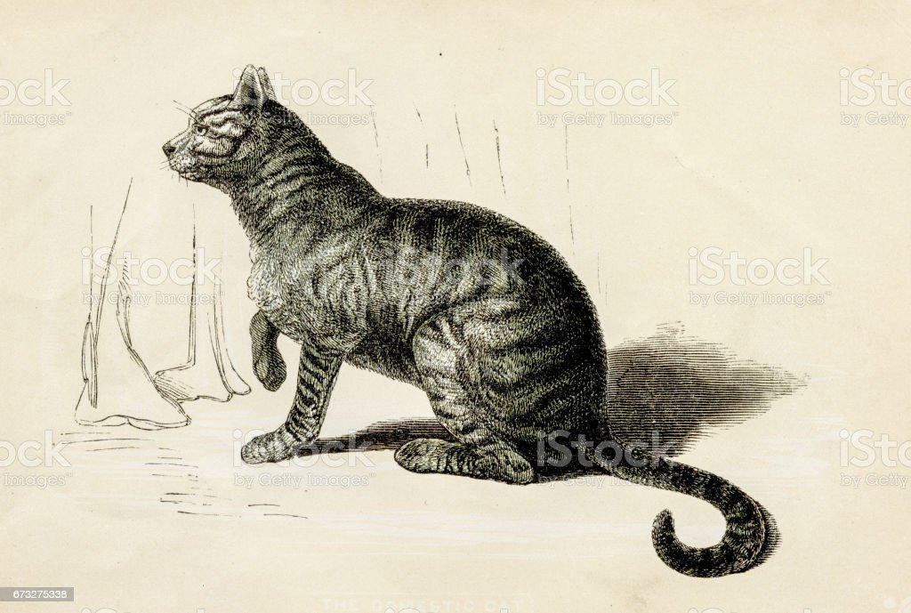 Domestic cat engraving 1851 vector art illustration
