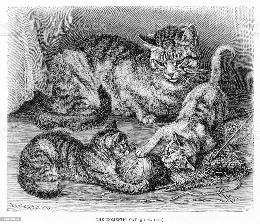 Domestic cat engraving 1894 royalty-free domestic cat engraving 1894 stock vector art & more images of animal
