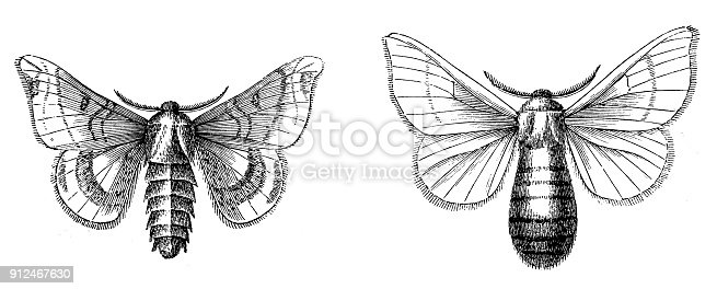Royalty Free Silk Moth Clip Art, Vector Images & Illustrations - iStock