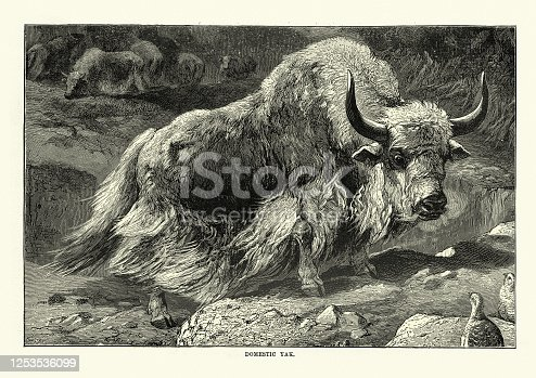 Vintage illustration of a domestic yak (Bos grunniens) a long-haired domesticated bovid found throughout the Himalayan region of the Indian subcontinent, the Tibetan Plateau