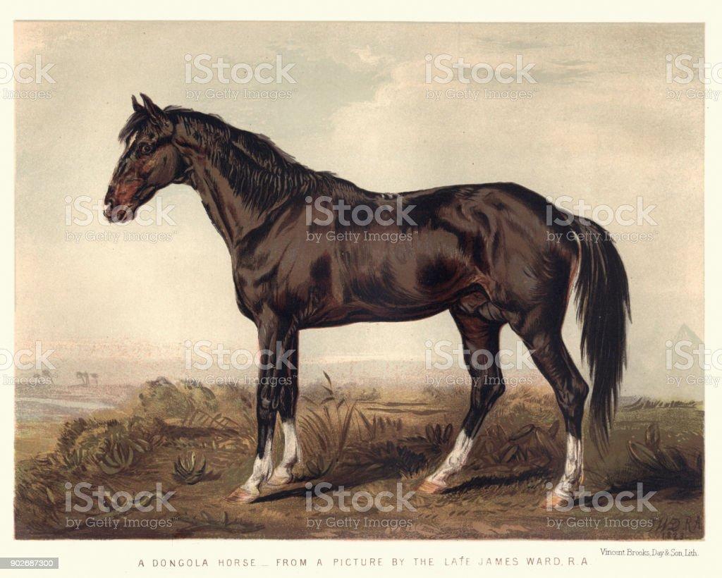 Dongola horse, 19th Century vector art illustration