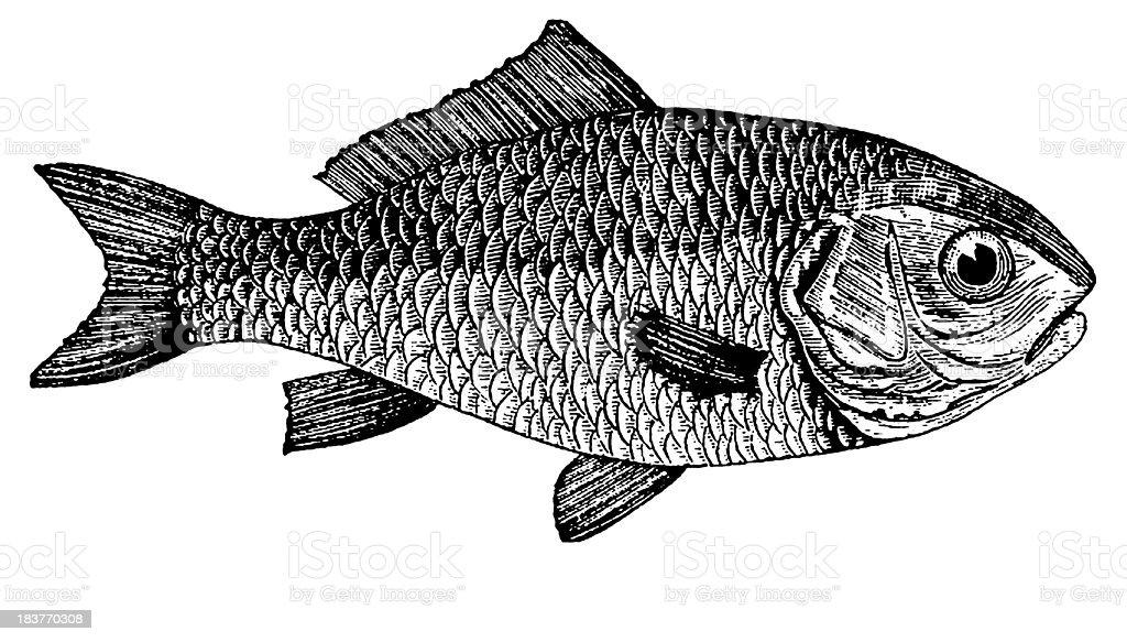 Dorade Goldfish | Antique Animal Illustrations royalty-free dorade goldfish antique animal illustrations stock vector art & more images of 19th century