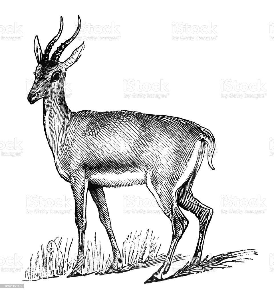 Dorcas Gazelle Stock Vektor Art Und Mehr Bilder Von Ariel Die