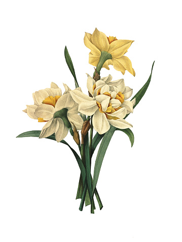 Double daffodils   Redoute Flower Illustrations