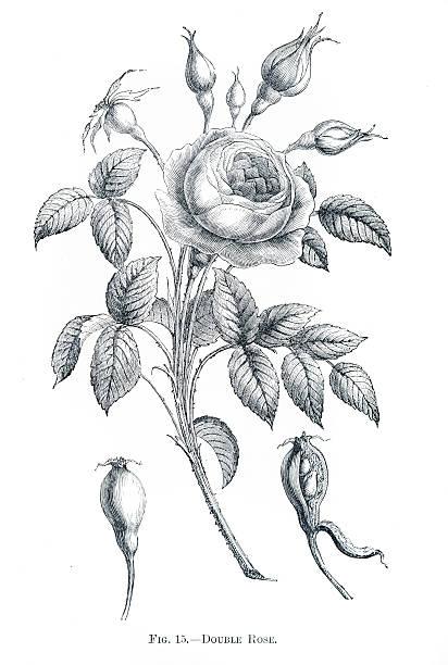 Double rose engraving 1898 Double rose engraving 1898 wild rose stock illustrations