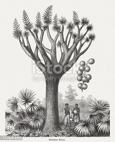 Dragon tree (Dracaena draco) with fruits (right). Wood engraving, published in 1894.