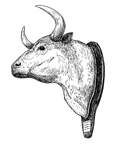 Drawing of bull head - hand sketch of corrida trophy, black and white illustration