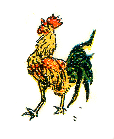Drawing of rooster isolated on white 1899