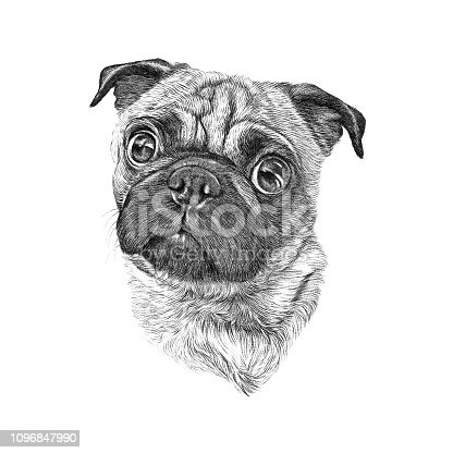 Drawing Puppy pug portrait on white background. Hand drawn home pet. Greeting card design. Clip art illustration - Illustration
