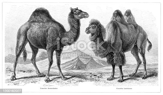 The dromedary also called the Somali camel ( Camelus dromedarius ), is a large, even-toed ungulate with one hump on its back.