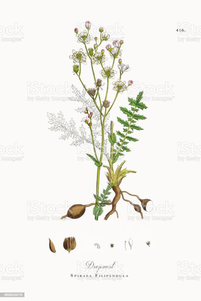 Dropwort, Spiraea Filipendula, Victorian Botanical Illustration, 1863 vector art illustration