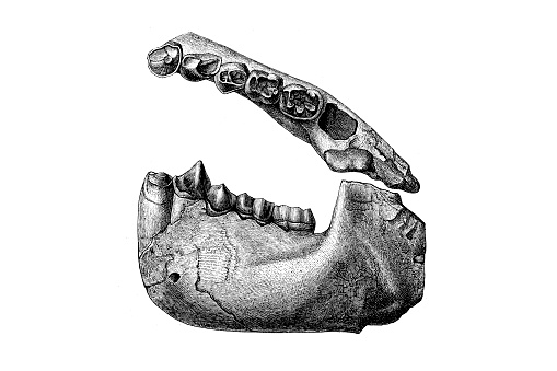 Dryopithecus is a genus of extinct great apes from the middle–late Miocene boundary of Europe 12.5 to 11.1 million years ago