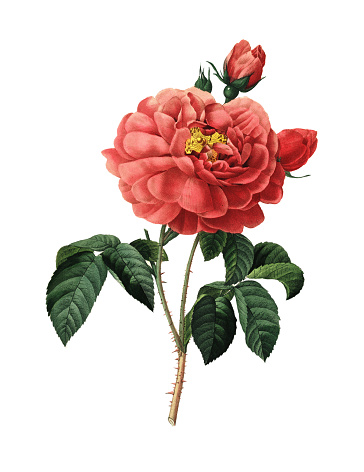 Duchess of Orleans Rose | Redoute Flower Illustrations