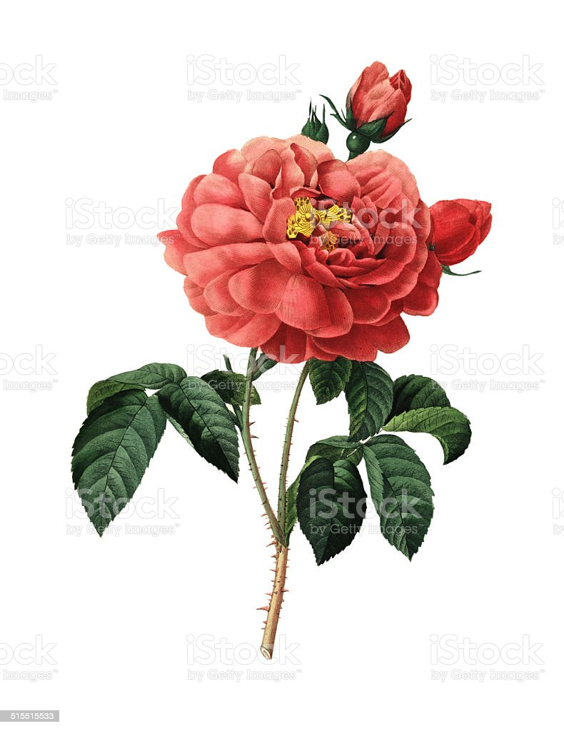 Duchess of Orleans Rose | Redoute Flower Illustrations vector art illustration