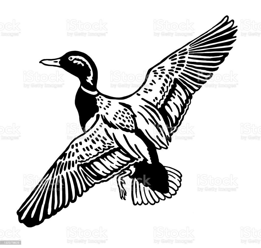 Ilustración de Pato Volando y más banco de imágenes de Ala de animal ...