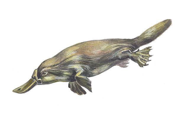 bildbanksillustrationer, clip art samt tecknat material och ikoner med duckbilled or platypus - platypus
