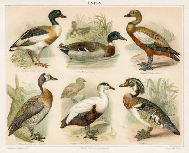 Ducks chromolithograph 1895 Meyers Konversations-Lexikon. Ein Nachschlagewerk des allgemeinen Wissens, 5th edition 17 volumes Bibliographisches Institut - Leipzig 1895-1897 water bird stock illustrations