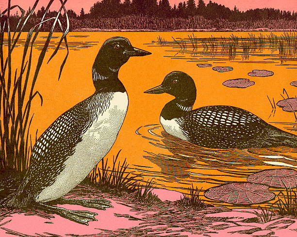 Ducks Ducks loon bird stock illustrations