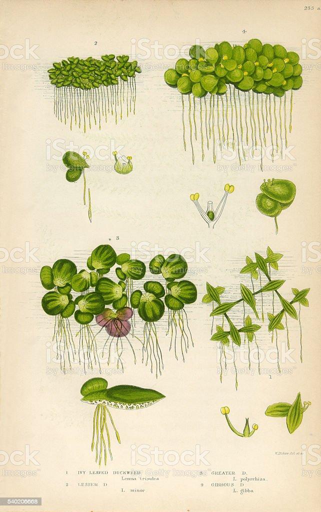 Duckweed, Lemnoideae, Bayroot, Victorian Botanical Illustration vector art illustration