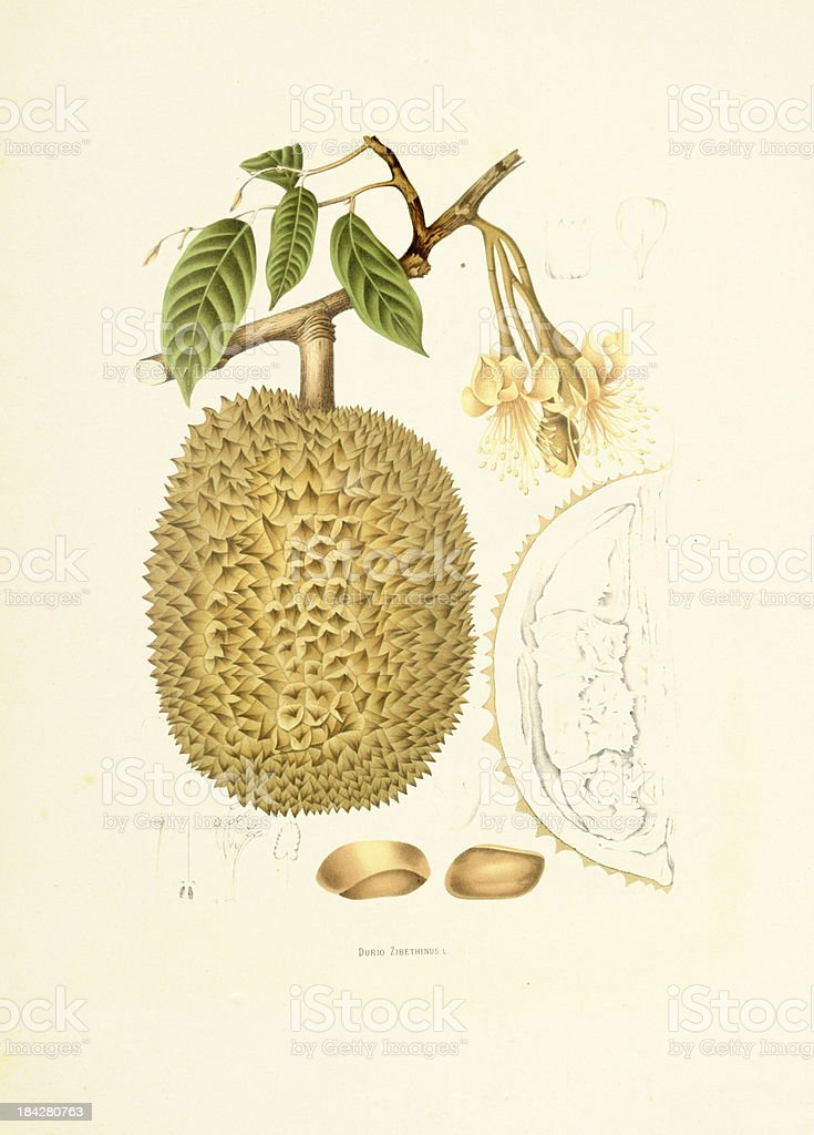 Durian | Antique Plant Illustrations vector art illustration
