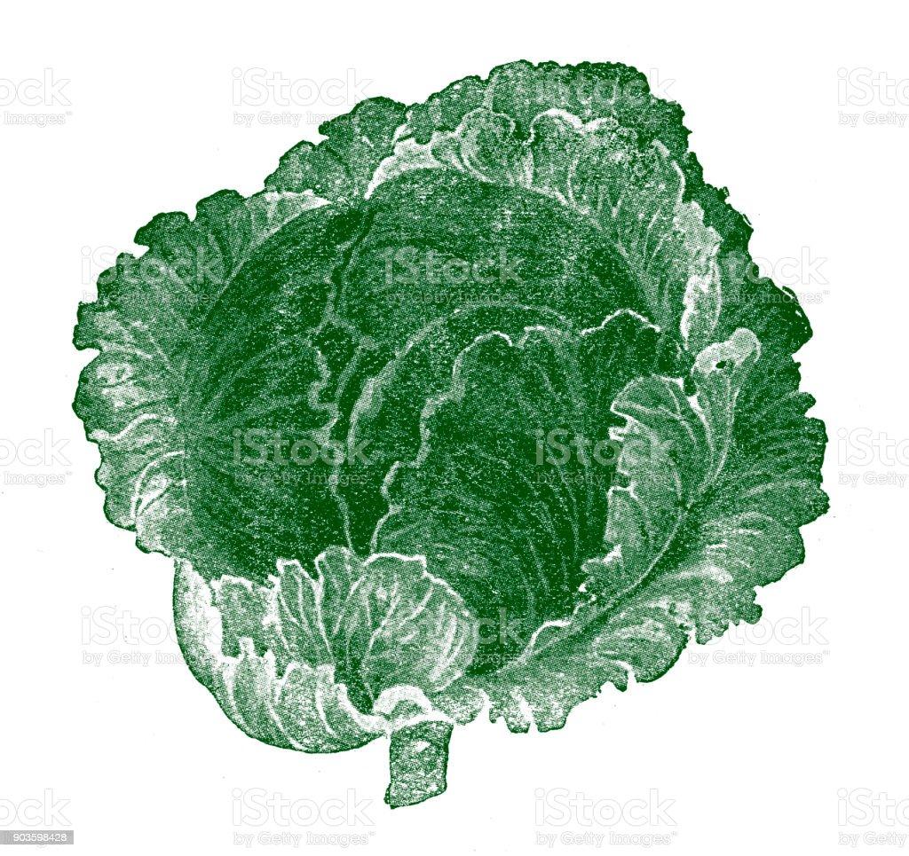 Dutch Cabbage vector art illustration