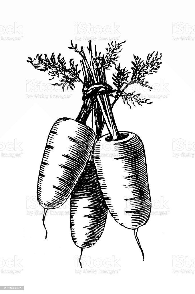 Dutch carrots vector art illustration