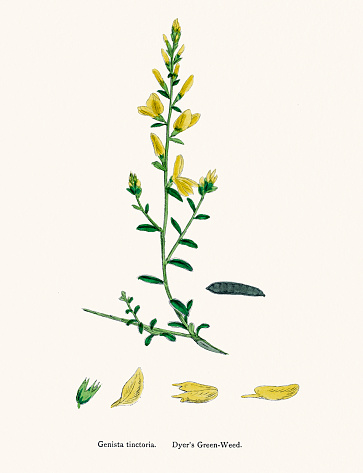 Dyer's green weed plant 19th century illustration