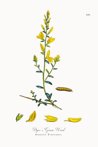 Dyer's Green-Weed, Genista Tinctoria, Victorian Botanical Illustration, 1863