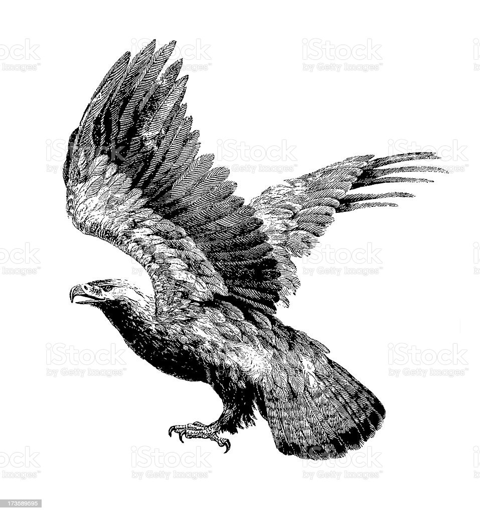 Eagle (Isolated on White) royalty-free stock vector art