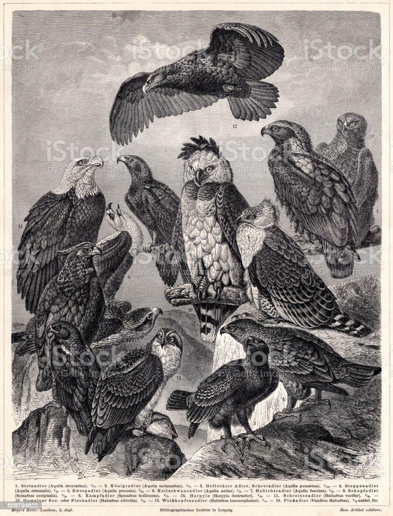 Eagles grabado 1895 - ilustración de arte vectorial