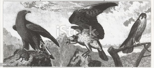 Engraved illustrations of Members of the Order Falconiformes from Iconographic Encyclopedia of Science, Literature and Art, Published in 1851. Copyright has expired on this artwork. Digitally restored.