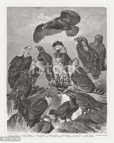 Eagles: 1) Golden eagle (Aquila chrysaetos); 2) Eastern imperial eagle (Aquila heliaca, or Aquila melanaetus); 3) Lesser spotted eagle (Clanga pomarina, or Aquila pomarina); 4) Steppe Eagle (Aquila nipalensis orientalis); 5) Booted eagle (Hieraaetus pennatus, or Aquila pennata); 6) Wedge-tailed eagle (Aquila audax); 7) Bonelli's eagle (Aquila fasciata), 8) Long-crested Eagle (Lophaetus occipitalis, or Spizaetus occipitalis); 9) Martial eagle (Polemaetus bellicosus); 10) Harpy eagle (Harpia harpyja, or Harpia destructor); 11) African fish eagle (Haliaeetus vocifer); 12) White-tailed eagle (Haliaeetus albicilla); 13) Bald eagle (Haliaeetus leucocephalus); 14) Osprey (Pandion haliaetus). Wood engraving, published in 1897.