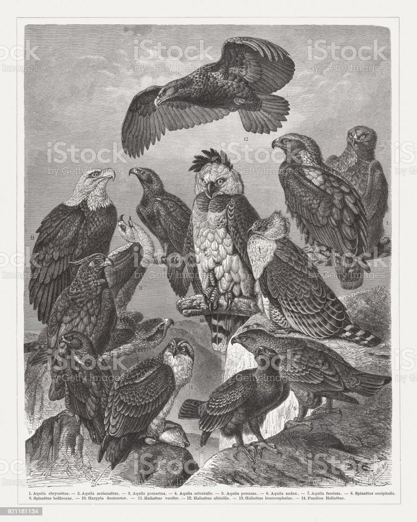 Eagles, wood engraving, published in 1897 vector art illustration