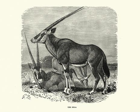 East African oryx (Oryx beisa), Wildlife, East Africa