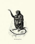 Vintage engraving of a  East Javan langur (Trachypithecus auratus)