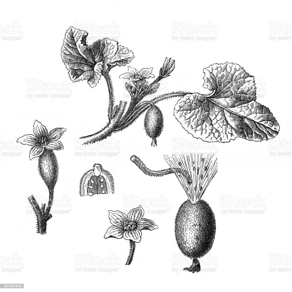 Ecballium elaterium (squirting cucumber or exploding cucumber) vector art illustration