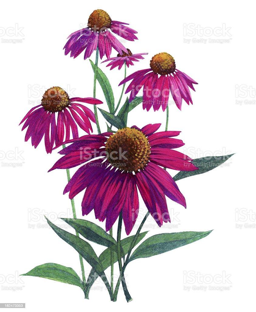 Echinacea Flowers Watercolor botanical illustration vector art illustration