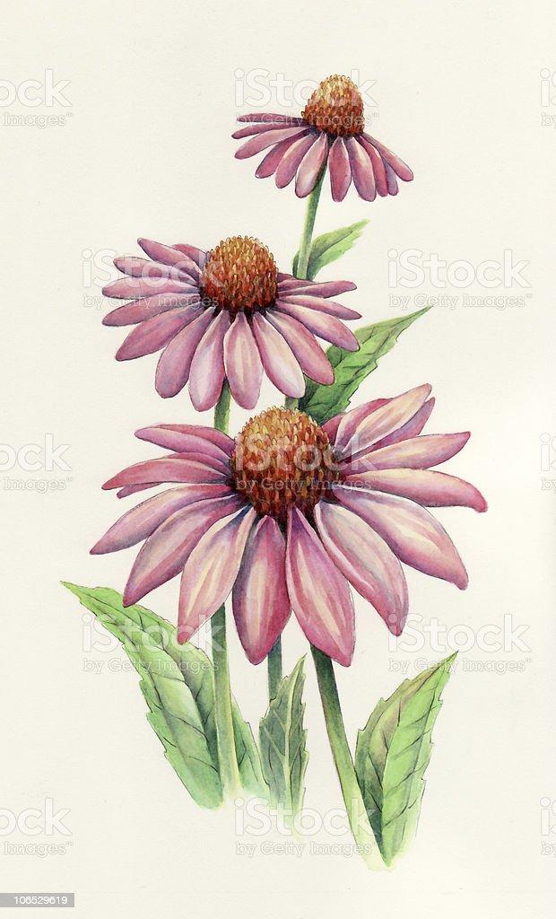 Echinacea vector art illustration