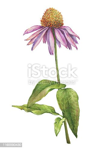 Echinacea purpurea flower close up (also known as the coneflower, tennesseensis, laevigata, pallida, angustifolia). Watercolor hand drawn painting illustration isolated on a white background.