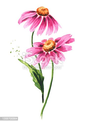 Echinacea purpurea stems with leaves and flowers, medical plant or herb. Hand drawn watercolor illustration, isolated on white background