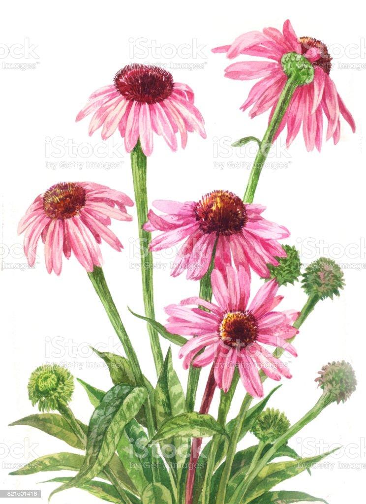 Echinacea watercolor. Botanical illustration on white background. vector art illustration