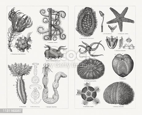 Echinoderms, left side: 1) Crinoid (Pentacrinus caput Medusae), calyx without arms seen from above (a), anus (b); 2) Sea lily (Antedon rosacea); 3) Sea cucumber (Scotoplanes globosa, or Scotoplana globosa); 4) Sea cucumber (Cucumaria), with outstretched tentacles (T), and ambulacral tube feet (Af); 5) Sea cucumber (Holothurian), sclerites; 6) Sea cucumber (Leptosynapta inhaerens, or Synapta inhaerens). Right side: 1) Heart urchin (Spatangoida, or Hemiaster philippii); 2) Two-forked Pedicellaria (a), open (b); 3) Starfish (Echinaster sentus); 4) Brittle star (Ophiactis virens); 5) Tooth structure of the sea urchin Echinus esculentus, overall view (a), details (b - d); 6) Sea urchin (Calveriosoma hystrix, or Asthenosoma hystrix); 7) Heart urchin (Schizaster), bully side, mouth (o), pores of the ambulacral feet (p), anus (A); 8) Brittle star (Ophiothrix fragilis), the arms cut off; 9) Shell of the sea urchin Echinus esculentus, half of the spines removed. Wood engravings, published in 1897.