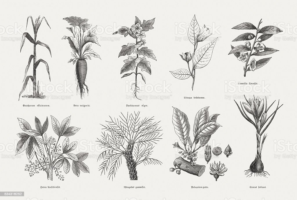 Economic plants, wood engravings, published in 1880 vector art illustration
