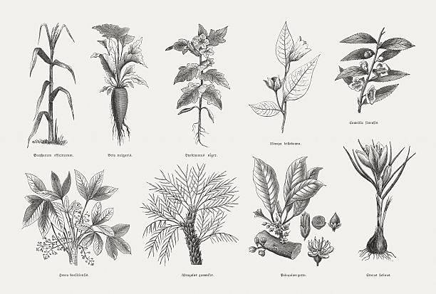 illustrazioni stock, clip art, cartoni animati e icone di tendenza di piante economica, legno incisioni, pubblicata nel 1880 - camellia sinensis