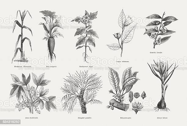 Economic plants: Sugarcane (Saccharum officinarum), Sugar beet, (Beta vulgaris), Black henbane (Hyoscyamus niger), Deadly nightshade (Atropa belladonna), (Camellia sinensis), Rubber tree (Hevea brasiliensis), Astragalus gummifer, Palaquium gutta, Saffron crocus (Crocus sativus). Wood engravings, published in 1880.
