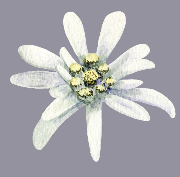 Royalty Free Edelweiss Clip Art, Vector Images