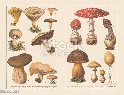 Edible mushrooms, left: 1) Golden chanterelle mushroom (Cantharellus cibarius); 2) Saffron milk cap (Lactarius deliciosus), cross section (2a) and young mushroom (2b), 3) Meadow mushroom (Agaricus campestris), young mushroom, 3a) mature mushroom; 4) Penny bun (Boletus edulis); 5) Wood hedgehog (Hydnum repandum). Toxic mushrooms, right: 1) Fly agaric (Amanita muscaria), old mushroom; 1a) young mushroom; 2) Stinkhorn (Phallus impudicus), old mushroom; 2a) young mushroom; 3) Scarletina bolete (Neoboletus luridiformis); 4) Death cap (Amanita phalloides). Chromotypogravures, published in 1894.